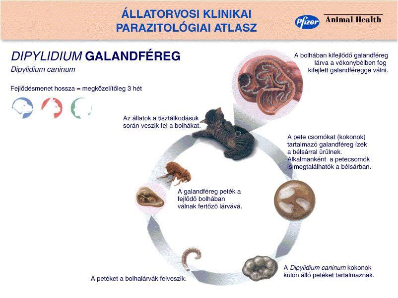 fertőző galandféreg