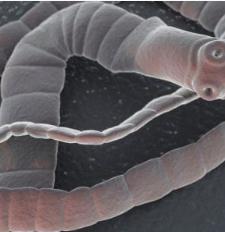 Szalag helmintos kezelés Parazita széles szalag kezelés