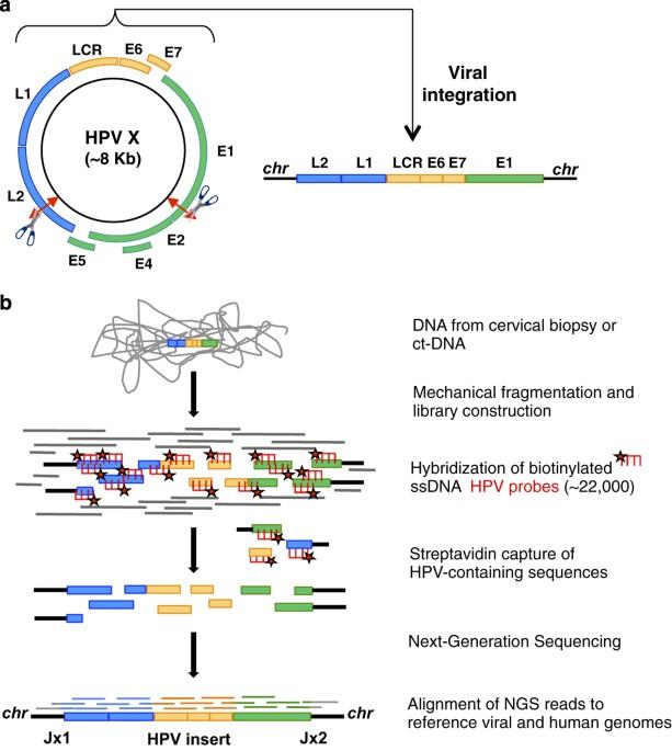 papillomaviridae genom