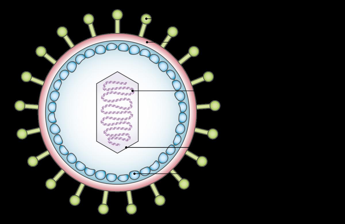 a papilloma vírus továbbítja