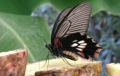 Pillangók paraziták - Monarch chrysalis paraziták - Szerkesztő Választása