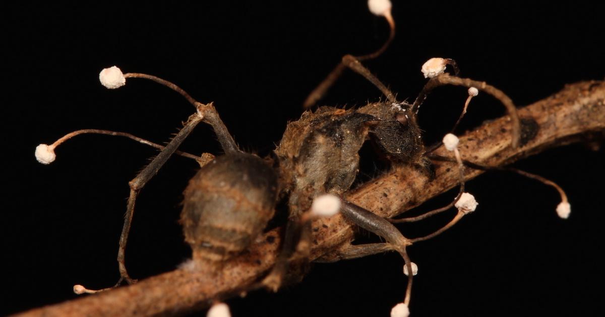 parazita rovar