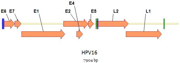 humán papilloma vírus készlet szemrák kezelése