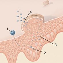 Paraziták típusú protozoonák - Különbség a protozoonok és a helminták között