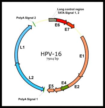 a papillomaviridae