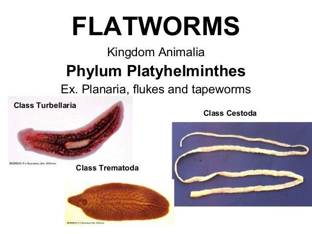 phylum platyhelminthes ppt visszatérő talpi szemölcs