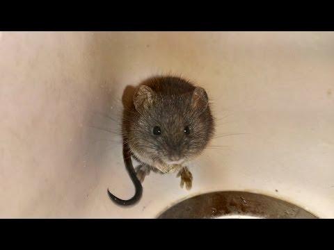 Laboratóriumi egerek helminták - szorftabor.hu