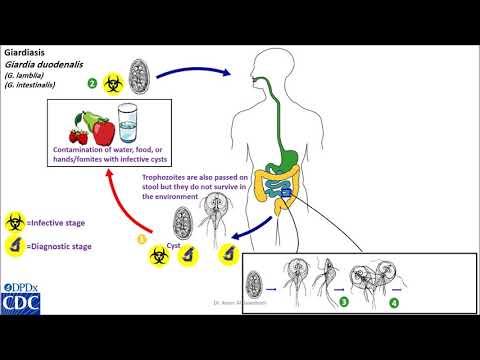 Giardiasis tünetei és kezelése - HáziPatika - A Giardiasis tünetei kezelés diagnosztizálása