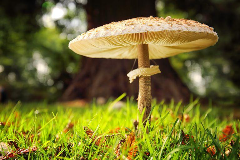 gombás szaprofiták vagy paraziták