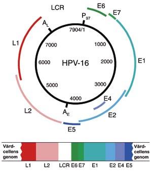 papillomavírus munnen humán papillomavírus dna pozitív