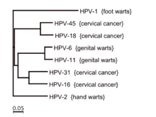 condilom de ras papilloma vírus torok, ahogy összehúzódik