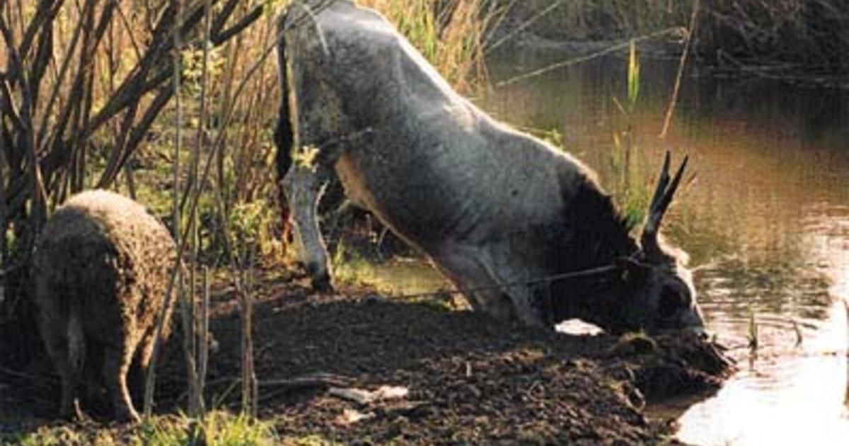 Tech: Kihalt a nyugat-afrikai fekete orrszarvú | hilltopfarm.hu