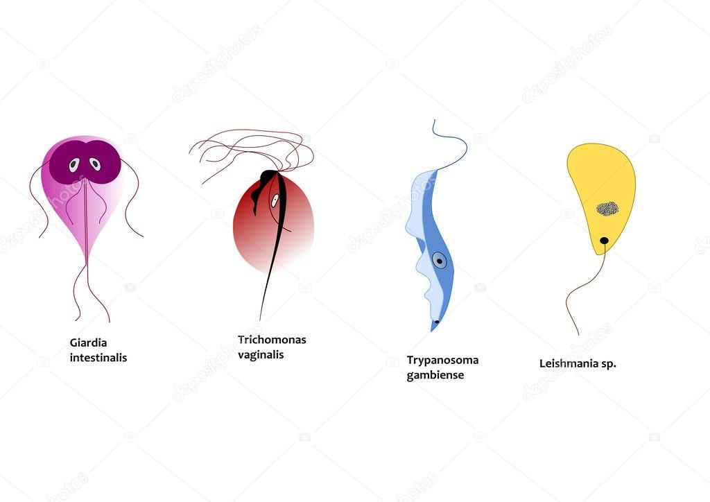 Trichomonas vaginalis tenyésztés genitális váladékból