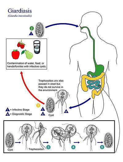 a giardia fogyást okozhat