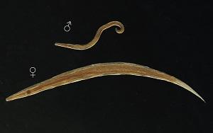 porok a nemi szemölcsökhöz
