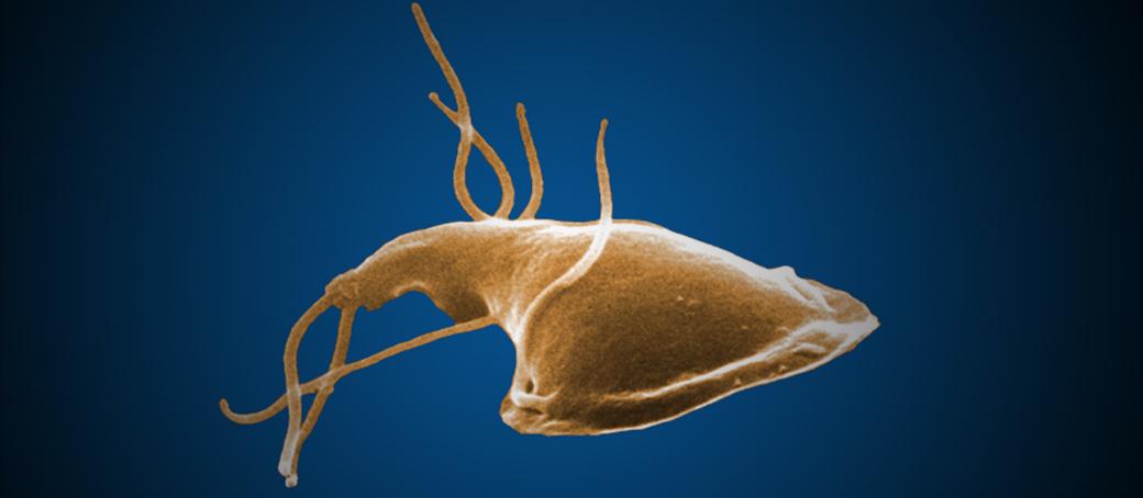 a giardiasis életciklusa cdc a papilloma megtörte, mit kell tennie