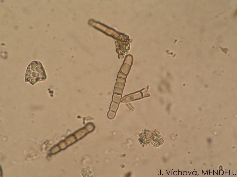 papaveris helminthosporium papillomavírus száj orr
