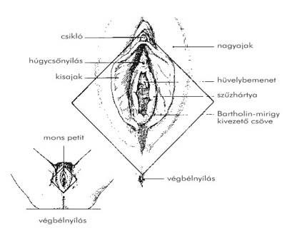 húgycső condyloma a nemi szemölcsök eltávolítása után gyorsan gyógyul