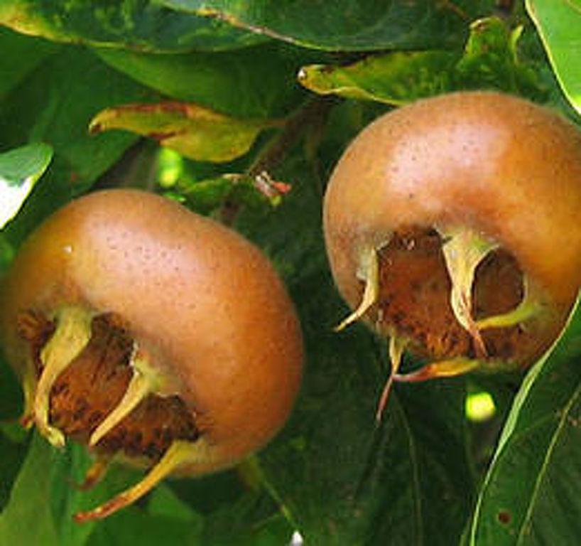 Rózsakajszi C1406 szabadgyökerű gyümölcsfa oltvány