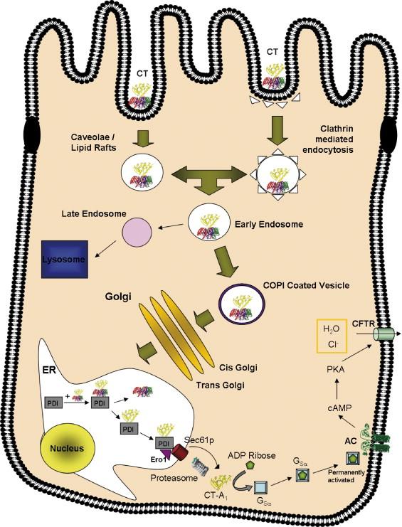 Kolera (Vibrio cholerae) elleni védőoltás