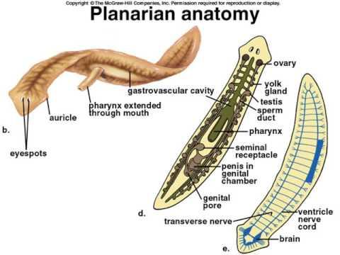 Platyhelminthes triploblasztikus vagy diploblasztikus Paraziták koelenterátumokban
