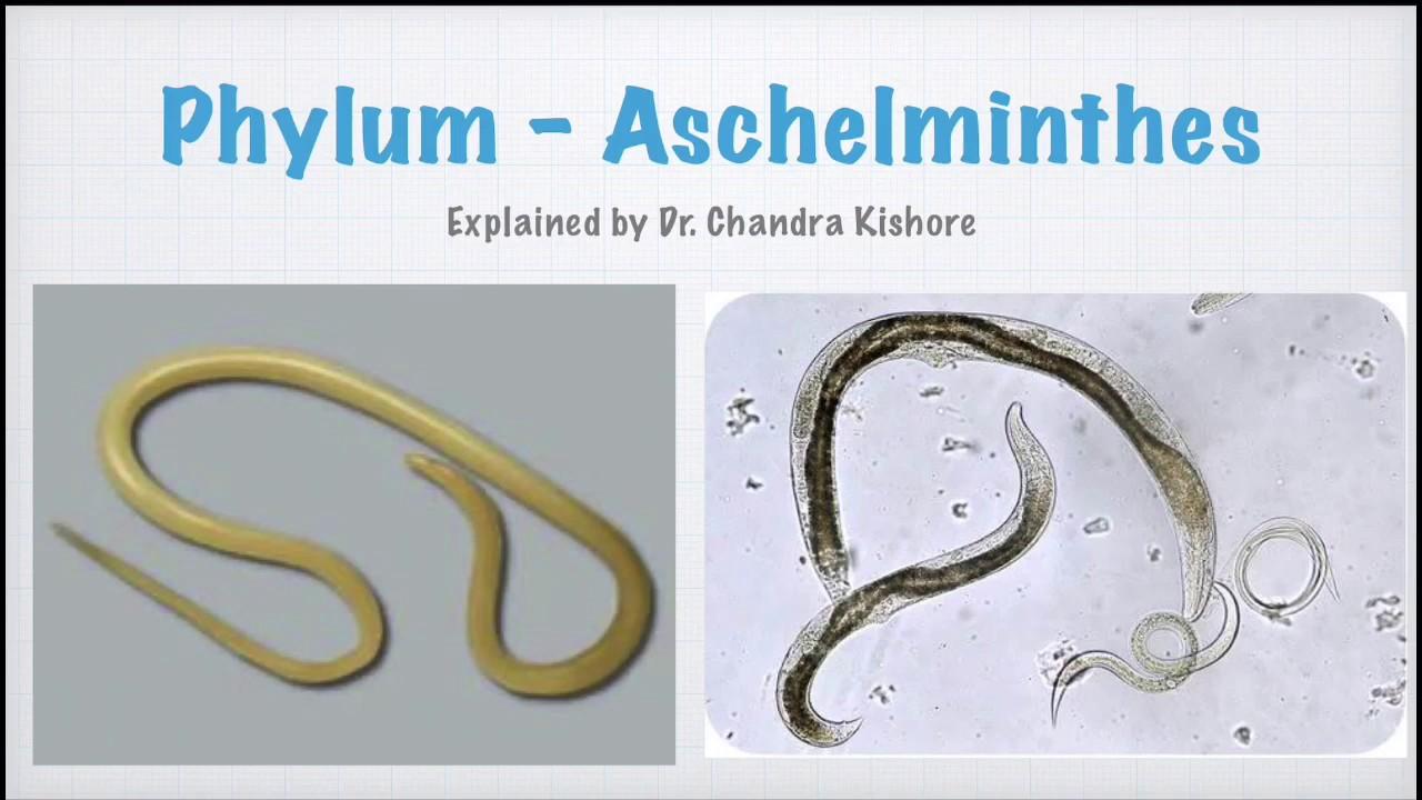 Aschelminthes phylum. Betekintés: Állatrendszertan