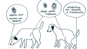 Drontal plus féreghajtó tabletta 6 db, Giardia honden