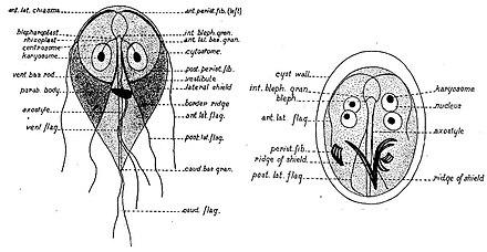 a giardiasis terjed