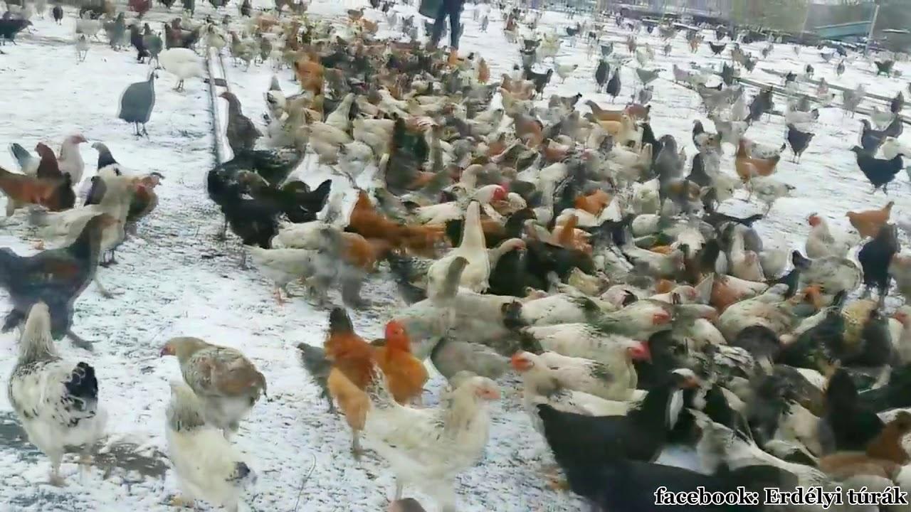 Baromfi féregtelenítése - Madarak - hilltopfarm.hu