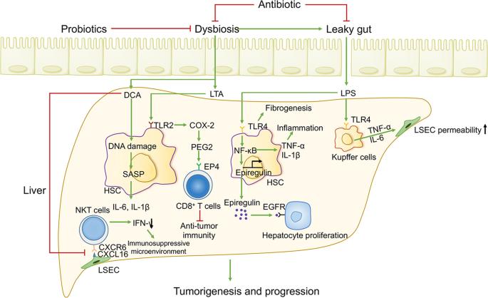 bél dysbiosis xilit giardia és cryptosporidium ivóvízben