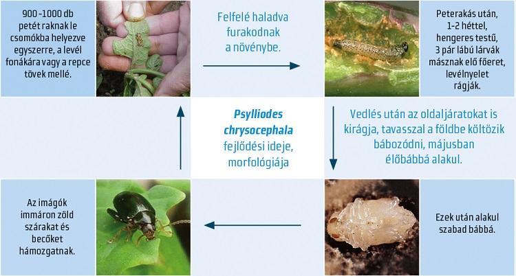 Entomofág paraziták. Így védekezzünk a repcebolha és a repcedarázs ellen