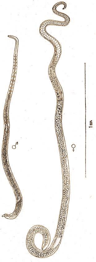Fonálférgek – Wikipédia, Aschelminthes és fonálférgek