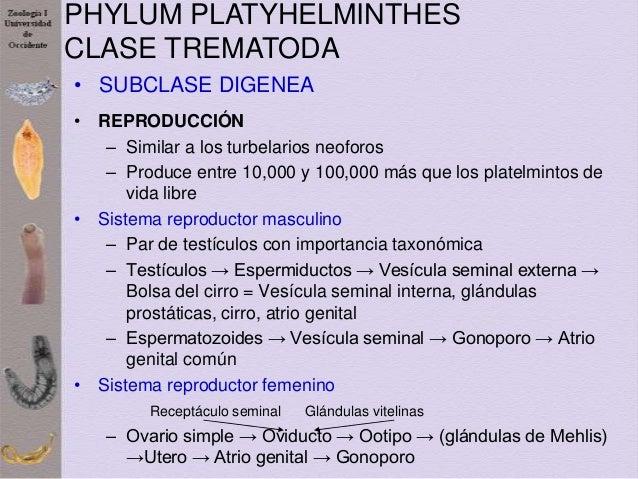 Taxonómia phylum platyhelminthes