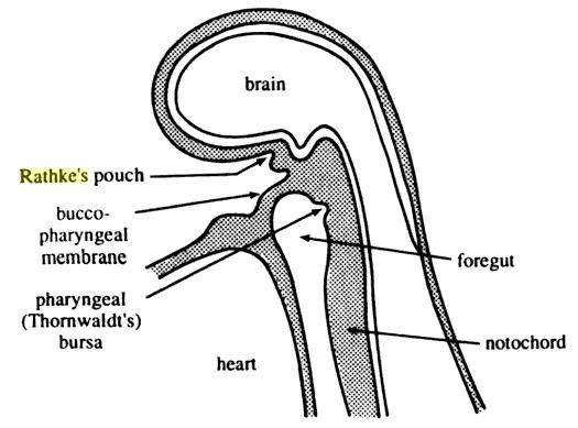 Mi az intraductalis papilloma és miért fejlődik az emlőmirigyben? kezelés